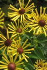 /Images/johnsonnursery/product-images/Rudbeckia Henry Eilers_75gs03tgt.jpg