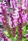 /Images/johnsonnursery/product-images/Salvia Lyrical Rose - ecgrowers_88qzf2lam.jpg