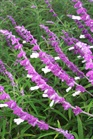 /Images/johnsonnursery/product-images/Salvia_leucantha2091900_z8mekrcqn.jpg