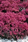 /Images/johnsonnursery/product-images/Sedum Sunsparkler Dazzleberry_6iwqsjs7r.jpg