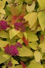 /Images/johnsonnursery/product-images/Spiraea Double Play Candy Corn_narbb1wfv.jpg