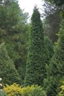 /Images/johnsonnursery/product-images/Thuja North Pole_4tnxd8ifs.jpg