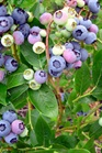 /Images/johnsonnursery/product-images/Vaccinium Duke_rzz4rmrn6.jpg