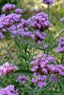 /Images/johnsonnursery/product-images/Verbena Lollipop_7ajqdhh6b.jpg
