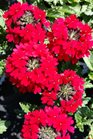 /Images/johnsonnursery/product-images/Verbena Superbena Royale Red3041316_qs3qvbefl.jpg