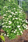 /Images/johnsonnursery/product-images/Viburnum Blue Muffin050103_olbsxg201.jpg
