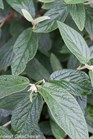 /Images/johnsonnursery/product-images/Viburnum Emerald Envy_wed5ktjlq.jpg