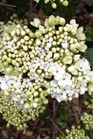 /Images/johnsonnursery/product-images/Viburnum Nantucket_8thwf4cho.jpg