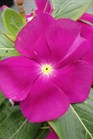 /Images/johnsonnursery/product-images/Vinca Nirvana Violet060513_2hcrdftqg.jpg