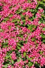 /Images/johnsonnursery/product-images/Vinca Soiree Kawaii Coral_0ff5f4jnf.jpg