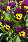 /Images/johnsonnursery/product-images/Viola Sorbet Ruby Gold Babyface100213_t9txmultb.jpg