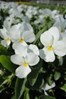 /Images/johnsonnursery/product-images/Viola Sorbet XP White100213_6ktloitgi.jpg