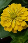 /Images/johnsonnursery/product-images/Zinnia Magellan Yellow050216_apis0hw04.jpg