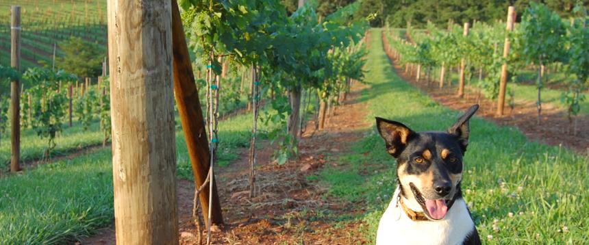 Addison Farms Vineyard - 7
